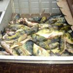 Associação teme impacto ambiental da pesca predatória em Pres. Epitácio