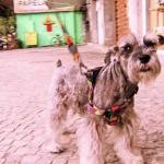 Ladrões roubam cachorros de raça para revender
