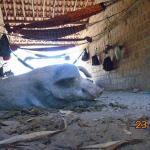 Trabalhadores são achados comendo e dormindo junto com porcos no Piauí