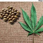 Indeferida liminar que pedia suspensão de ação penal por importação de sementes de maconha